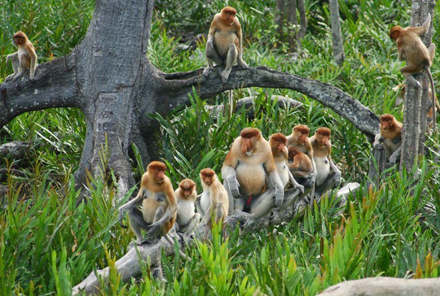Malasia-Viajes-Borneo_Nasenaffe